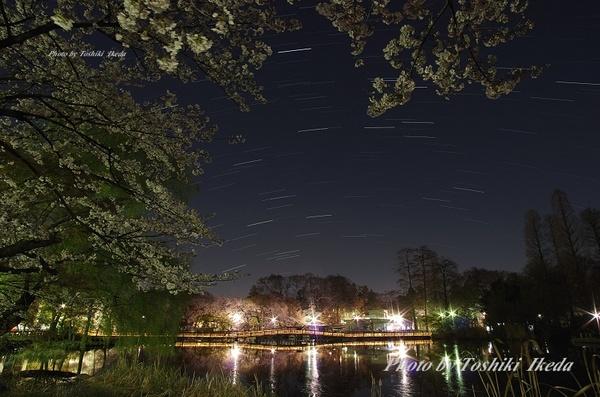 井の頭公園夜桜-3aa.jpg